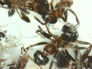 traitement contre les fourmis. Black Bedroom Furniture Sets. Home Design Ideas