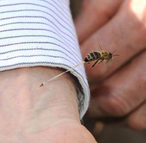 abeille perdant son dard en piquant