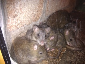 Dératisation nid de rats