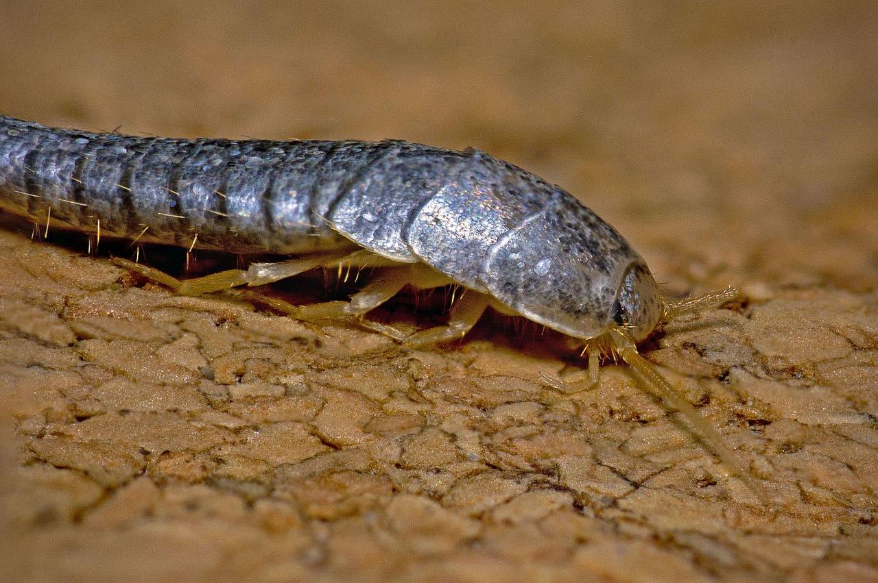 Insecte Salle De Bain Poisson D'Argent ~ poisson d argent bruxelles le traitement