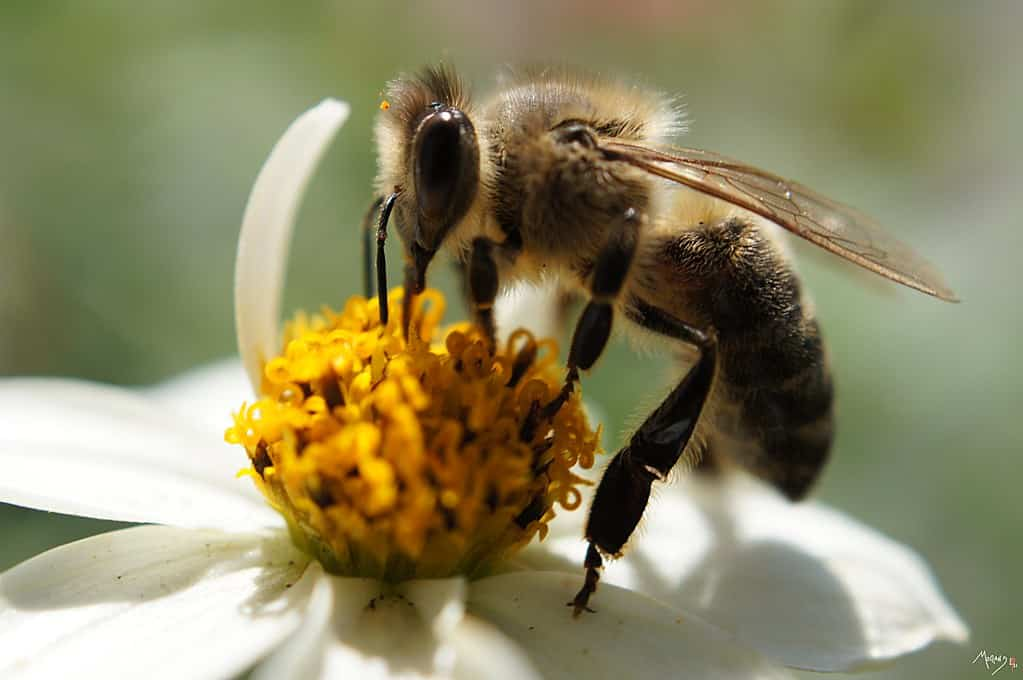 abeille foncée sur fleur