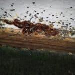 Grosse infestation de punaises de lits à Bruxelles