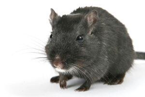souris qui prend la pose